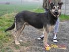 Pies szlachetny jak jego imię smutny SZMARAGD czeka na dom - 2