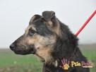 Pies szlachetny jak jego imię smutny SZMARAGD czeka na dom - 5