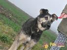 Pies szlachetny jak jego imię smutny SZMARAGD czeka na dom - 1