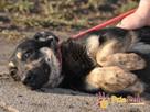 MILKY-młody psiak po przejściach-szukamy spokojnego opiekuna - 6