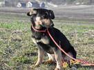 MILKY-młody psiak po przejściach-szukamy spokojnego opiekuna - 7