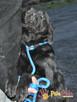 FALCOR-wspaniały, b.energiczny, wesoły psiak w typie labradora - 2