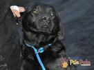 FALCOR-wspaniały, b.energiczny, wesoły psiak w typie labradora - 4