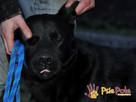 FALCOR-wspaniały, b.energiczny, wesoły psiak w typie labradora - 6