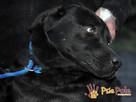 FALCOR-wspaniały, b.energiczny, wesoły psiak w typie labradora - 1