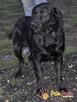 FALCOR-wspaniały, b.energiczny, wesoły psiak w typie labradora - 7