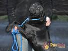 FALCOR-wspaniały, b.energiczny, wesoły psiak w typie labradora - 3